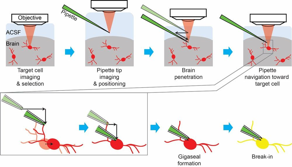 Figure 2. Stages in the cell-targeted patch-clamping process. ACSF= artificial cerebrospinal fluid; red= fluorescent cells; green= patch pipette filled with fluorescent dye; light red = laser for two-photon imaging; black solid arrows = pipette movements; black dotted arrow = cell movement; yellow = target cell filled with the fluorescent dye from the pipette.
